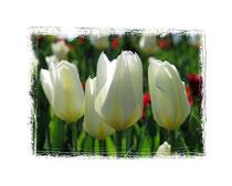 Tulpen 6231