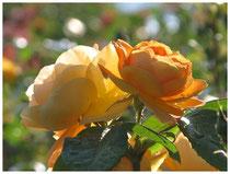 Rose 0461