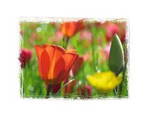 Tulpen 6286