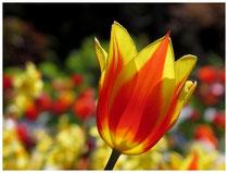 Tulpen 5977