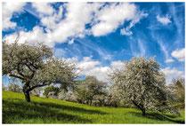 Blühende Obstbäume 9071