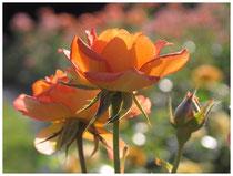 Rose 0457