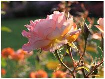 Rose 0389