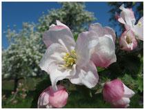 Apfelblüte 6034