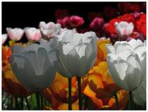 Tulpen 8894