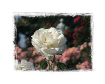 Rose 7537