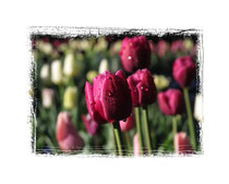 Tulpen 5814