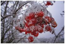 Rote Beeren des Gemeinen Schneeballs 2152
