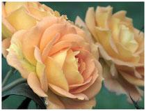 Rose 0969
