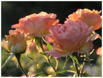 Rose 0788