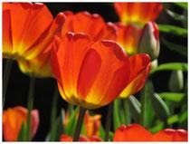 Tulpen 5972