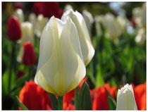 Tulpen 6234