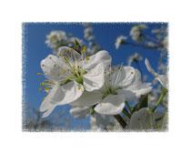 Blüten 6085