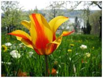 Tulpe 4508