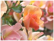 Rose 9780