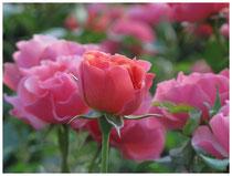 Rose 0381