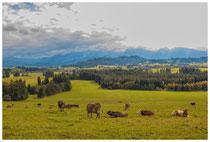 0776 Allgäuer Landschaft mit Kühen