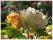 Rose 0488