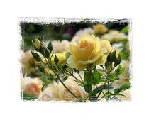 Rose 7510