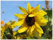 Sonnenblume 8041