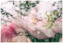 Apfelblüte 3486