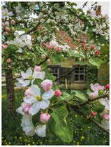 Apfelblüte 0396