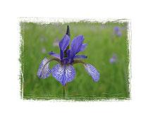 Irisblüte 2390