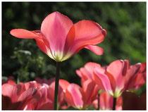 Tulpen 6313