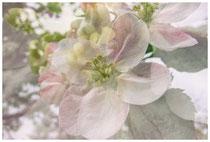 Apfelblüte 3503