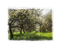 Blühende Obstbäume 9016