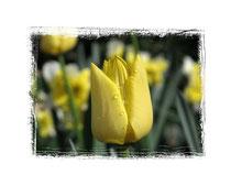 Tulpe 1666