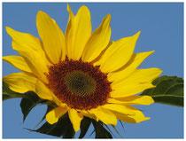 Sonnenblume 1555