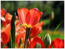 Tulpen 8217