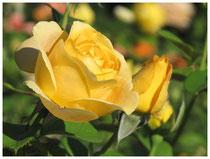 Rose 0950
