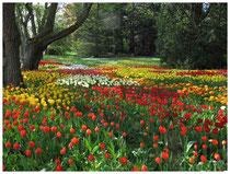 Tulpen 2067