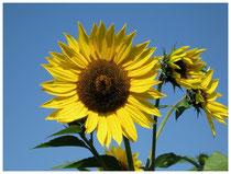 Sonnenblume 6503