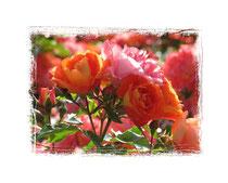 Rose 7514