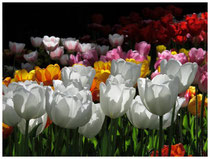 Tulpen 8936