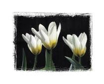 Tulpen 1709