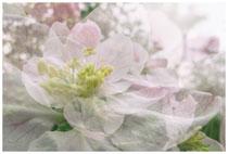 Apfelblüte 3506
