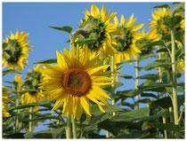 Sonnenblume 7969