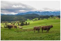 4416 Allgäuer Kühe