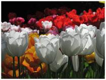 Tulpen 8892