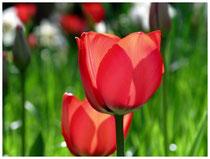 Tulpen 5998