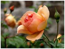 Rose 9875