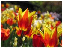 Tulpen 5978