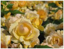 Rose 7557
