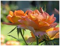 Rose 0955
