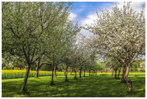 Blühende Obstbäume 3544