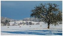 Rehe im Schnee 0050